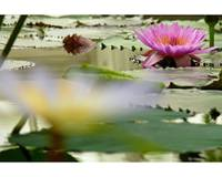 Water Lily Far Focus