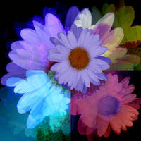 Multicolored Daisy Collage