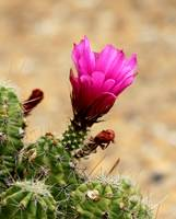 New Mexican Wildflower - Cactus Blossom