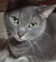 Gray Cat Russian Blue