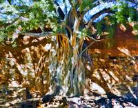 Ficus Root in Adobe Wall
