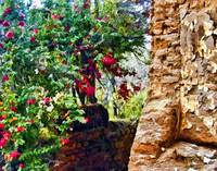 Old Adobe Wall with Bouganvillea