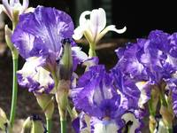 Irises Art Prints Purple Iris Flowers Garden