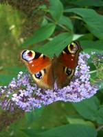 Peacock Butterfly & Buddleia