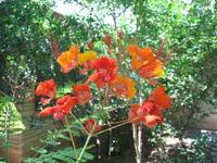Pride of Barbados