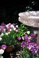 Bird Bath & Tulips