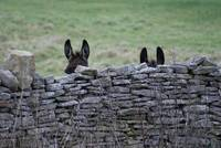 British Donkey Hide & Seek Society (Swanage Branch