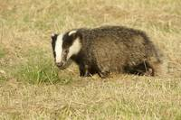Durlston Badgers