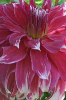 Big, Beautiful Pink Dahlia Flower Blossom