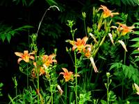 Day Lilies in the Wild (#732)