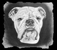 English Bulldog Bentley
