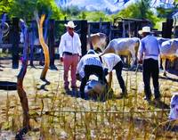 Vaqueros (Mexican Cowboys) at Work