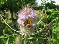 Large skipper on teasel