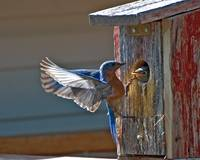 Bluebird Wings