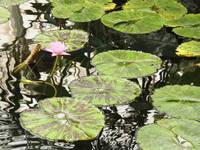 Pink Water Lily in Conservatory Pond