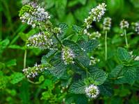 Spearmint in bloom 2