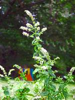 Spearmint in bloom