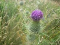 Thistle on Culloden Battlefield/Moor