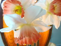 OFFICE ART Prints NARCISSUS Flower Baslee