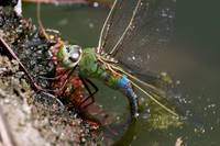 Green Darner (Anax junius) laying eggs