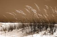 Sea Oats, Old 98   (Destin, Santa Rosa Beach, 30A)