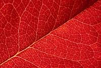 red leaf abstract