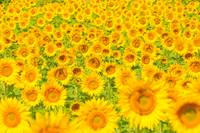 Sunflower field - summer background