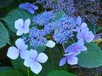 Hydrangea FLOWERS Art Prints Botanical Floral Prin