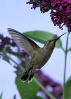 Hummingbird Card by Carol Groenen