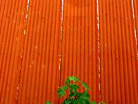 Grønt mot rustent tak - Rusty roof & green leaves