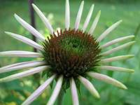 Blooming coneflower