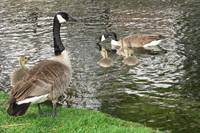Canadian geese with goslings