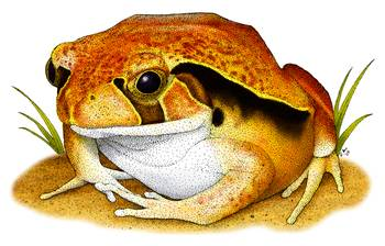 Tomato Frog by artist Roger Hall. Giclee prints, art prints, animal art, frog art, Dyscophus insularis; from an original pen and ink drawing