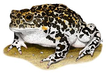Yosemite Toad by artist Roger Hall. Giclee prints, art prints, animal art, frog art, Bufo canorus; from an original pen and ink drawing