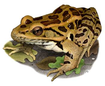 Pickerel Frog by artist Roger Hall. Giclee prints, art prints, animal art, frog art, Rana palustris; from an original pen and ink drawing