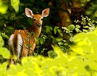 THE YOUNG FAWN