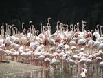 Flamingo gathering