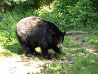 Black bear time