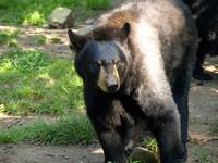 Black bear time 4