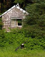 Bald Eagle Landing in front of rustic cottage