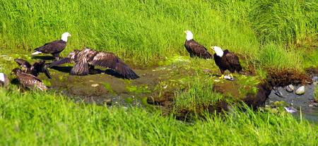 Bald Eagle Discussion over dinner etiquette