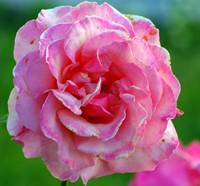 ruffled pink rose just past her prime