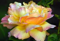 very full pink and yellow gorgeous rose blossom