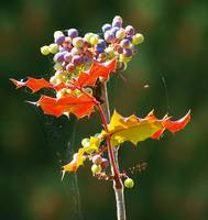 oregon grape like vegetation with spider web