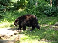 Fat black bear