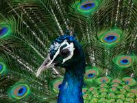 Peacock Portrait