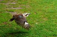 Kookaburra, In Flight.