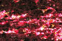 sundappled forest flooring of dropped camellias
