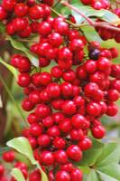 pyracantha berries in abundance