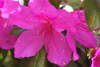 Pink azalea blossoms with droplets